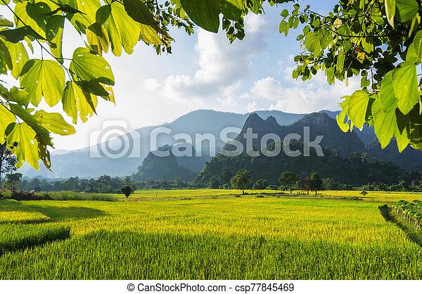 rice fields - csp77845469