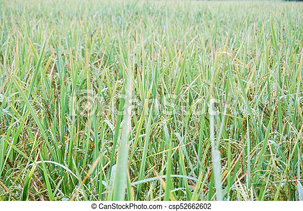 Rice grown in the green fields - csp52662602