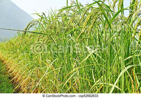 Rice grown in the green fields - csp52662633