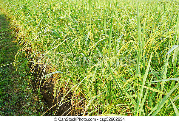 Rice grown in the green fields - csp52662634