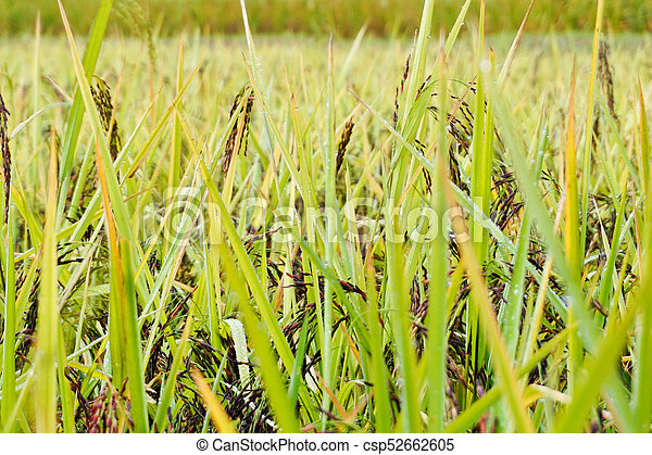 Rice grown in the green fields(riceberry) - csp52662605