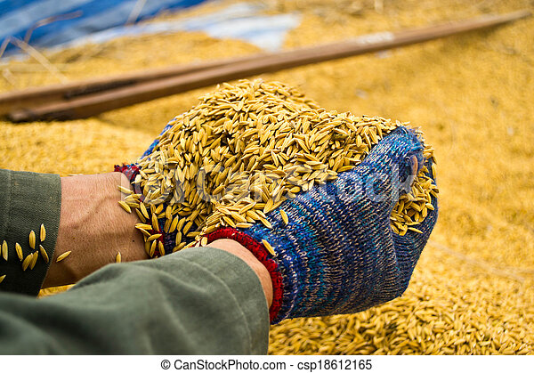 Rice in farmer hands - csp18612165