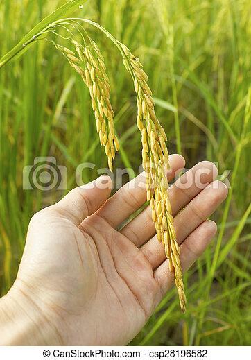 rice in man hands. - csp28196582