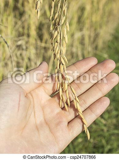 rice in man hands. - csp24707866