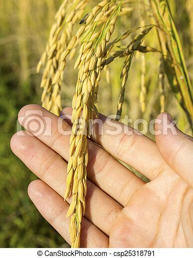 rice in man hands. - csp25318791