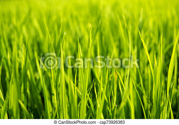 Rice on field. Green leaves background - csp73926383
