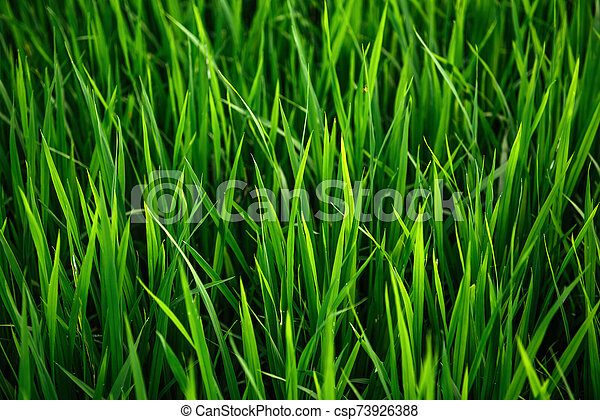 Rice on field. Green leaves background - csp73926388
