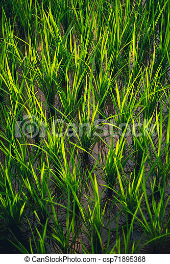 Rice on field. Green leaves background - csp71895368