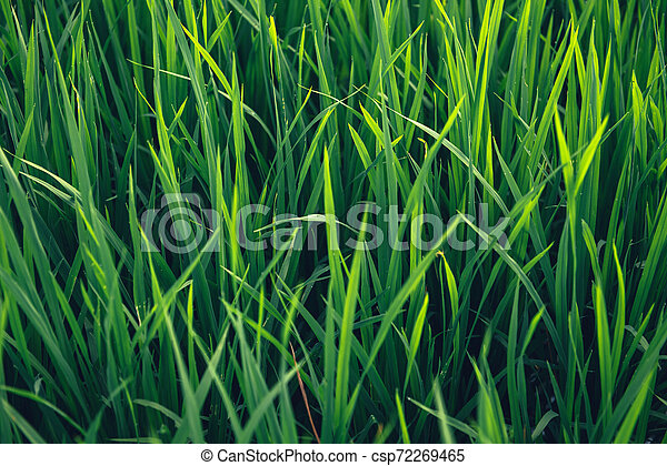 Rice on field. Green leaves background - csp72269465