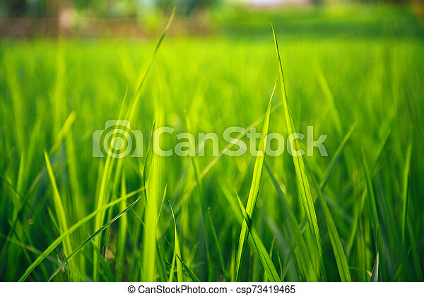 Rice on field. Green leaves background - csp73419465