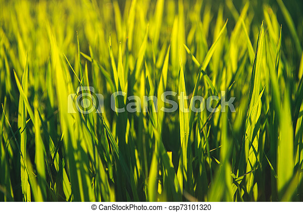 Rice on field. Green leaves background - csp73101320