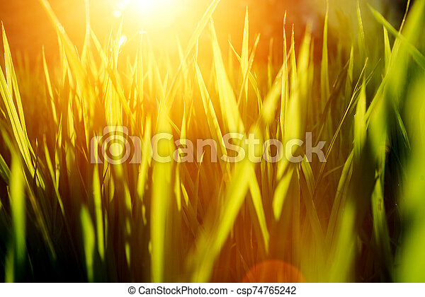 Rice on field. Green leaves background with sunrise - csp74765242