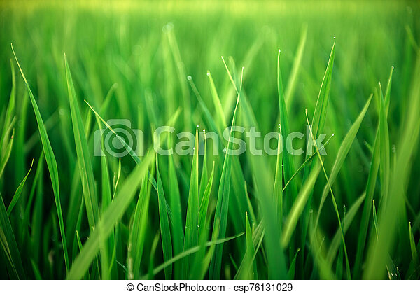 Rice on field. Green leaves background - csp76131029
