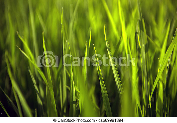 Rice on field. Green leaves background - csp69991394