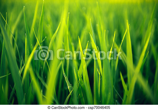 Rice on field. Green leaves background - csp70046405