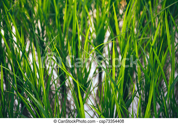 Rice on field. Green leaves background - csp73354408
