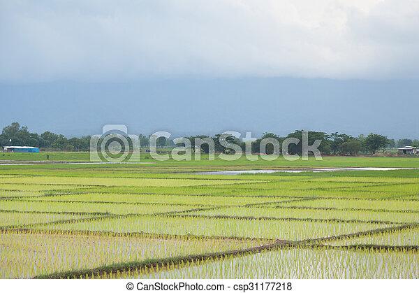 rice plant farmers planting rice. - csp31177218