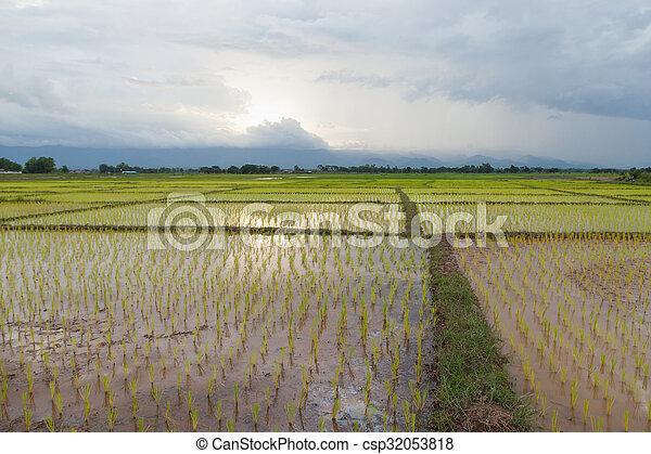 rice plant farmers planting rice. - csp32053818