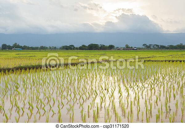 rice plant farmers planting rice. - csp31171520