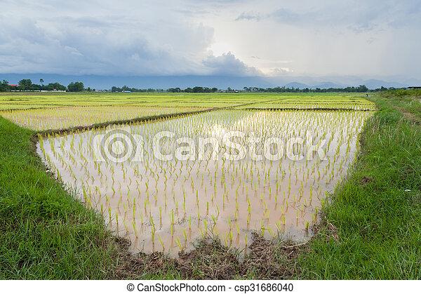 rice plant farmers planting rice. - csp31686040