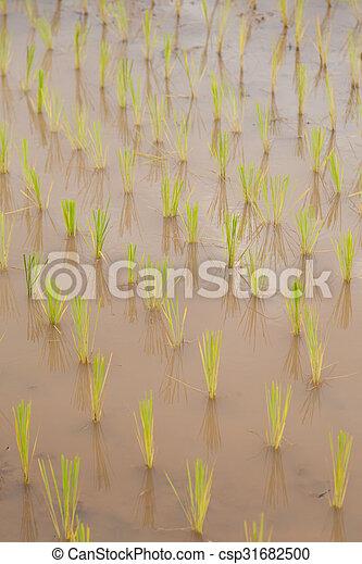 rice plant farmers planting rice. - csp31682500