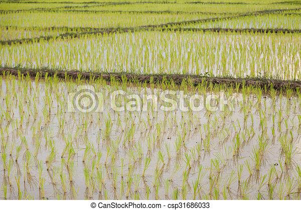 rice plant farmers planting rice. - csp31686033