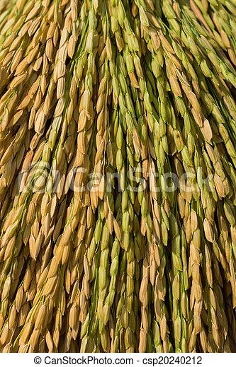 rice plant - csp20240212