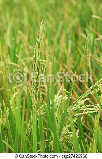 rice plant - csp27426966