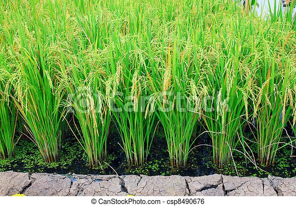 rice plant  - csp8490676