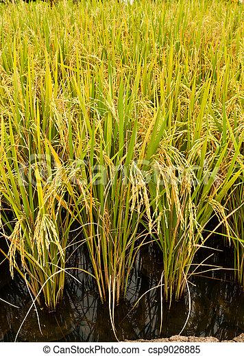 rice plant   - csp9026885