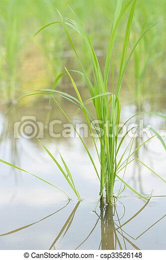 Rice plant. - csp33526148
