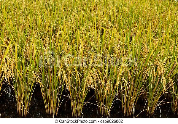rice plant   - csp9026882