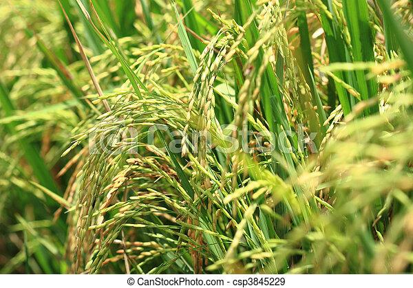 Rice plant - csp3845229