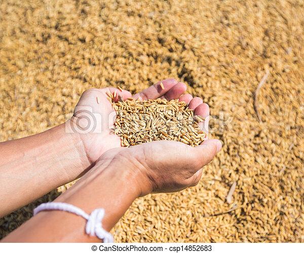 Rice seed in farmer hand - csp14852683