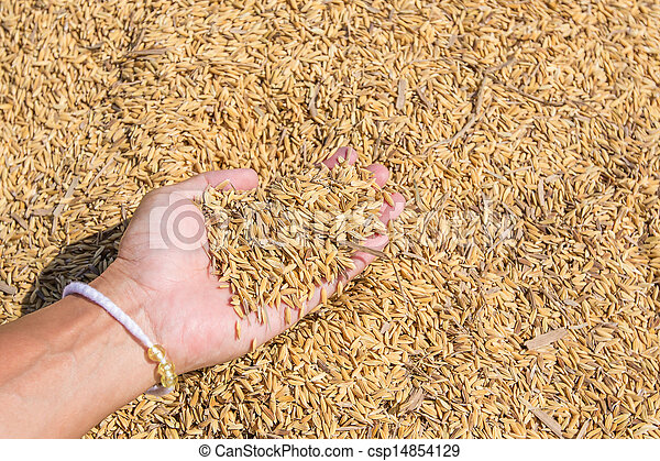 Rice seed in farmer hand - csp14854129