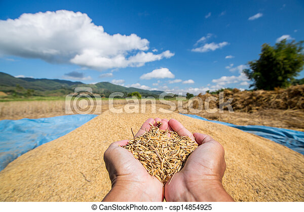 Rice seed in farmer hand - csp14854925
