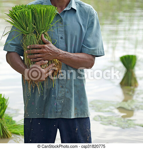 rice seedlings in a farmer hands - csp31820775