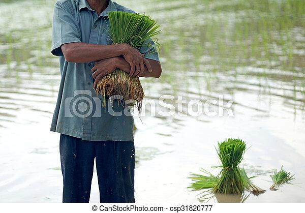 rice seedlings in a farmer hands - csp31820777