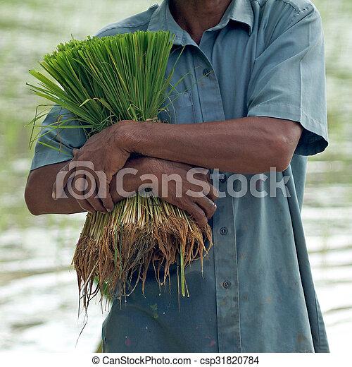 rice seedlings in a farmer hands - csp31820784