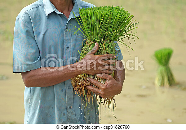 rice seedlings in a farmer hands - csp31820760