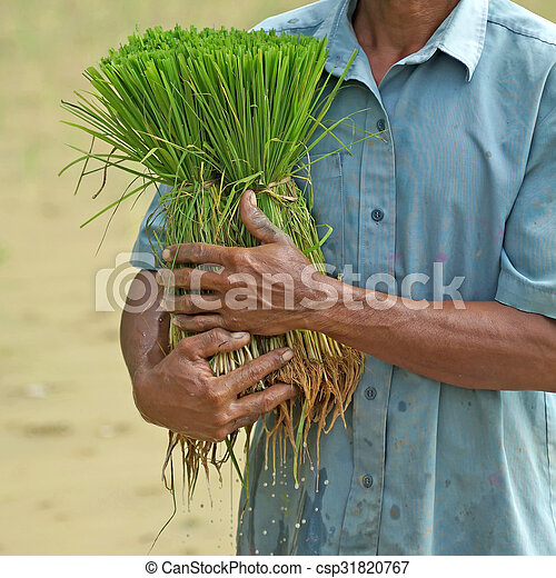 rice seedlings in a farmer hands - csp31820767