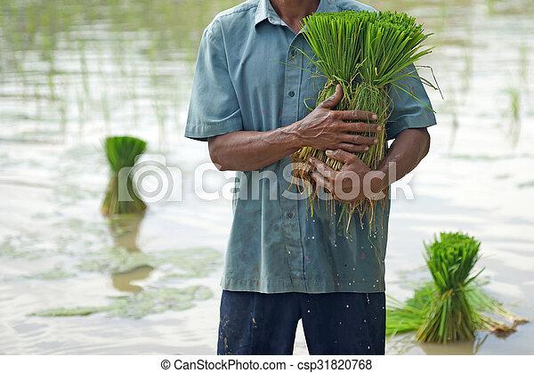 rice seedlings in a farmer hands - csp31820768