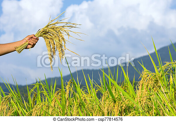 Rice seeds in hands of farmers - csp77814576