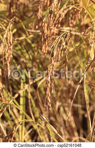 rice spikes in the field - csp52161048