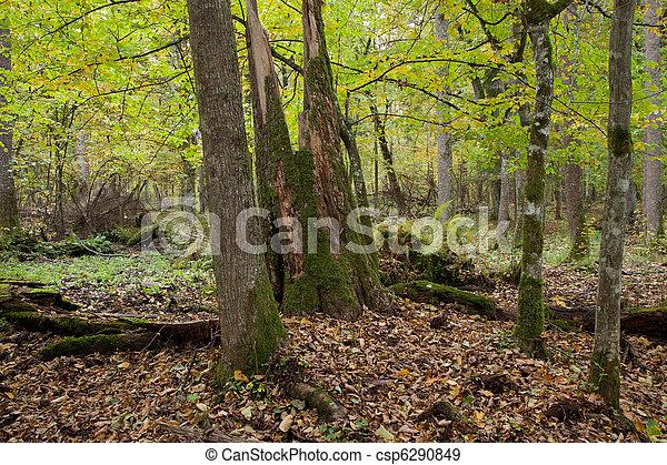 Rich deciduous stand with broken tree - csp6290849