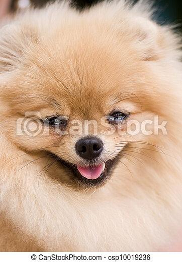 Ridiculous smiling spitz-dog - csp10019236
