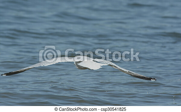 Ring-Billed Gull Flying Over A Lake - csp30541825