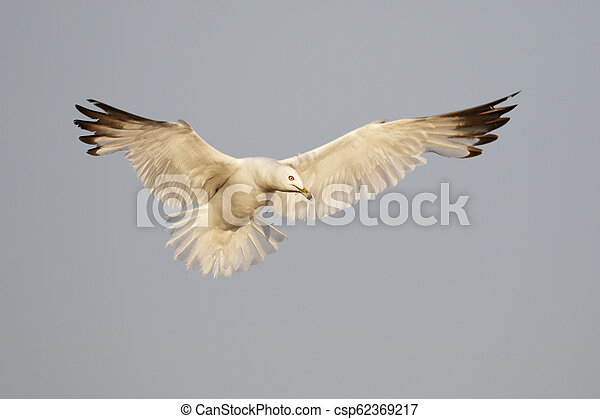 Ring-billed Gull hovering over a Lake Huron beach - csp62369217