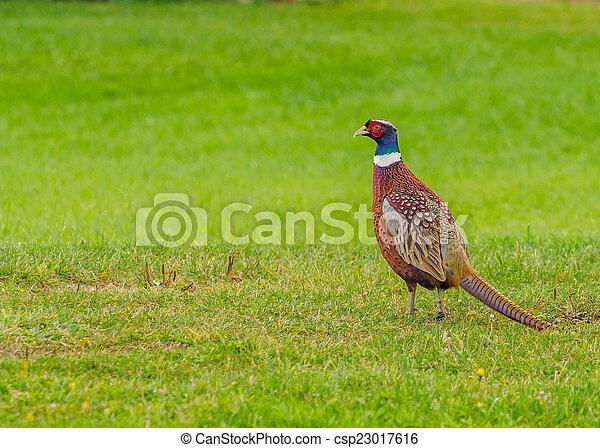 Ring-necked Pheasant - csp23017616