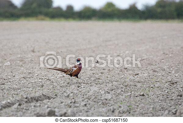 Ring necked Pheasant - csp51687150